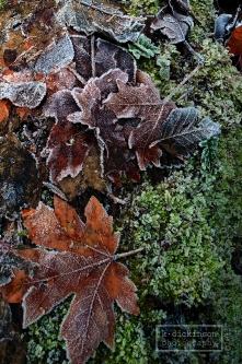 Frosty Leaves at Forest Park, Portland, Oregon