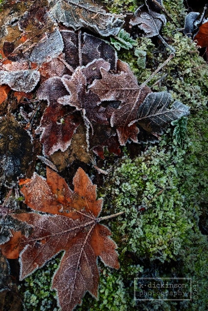 Frosty Leaves at Forest Park