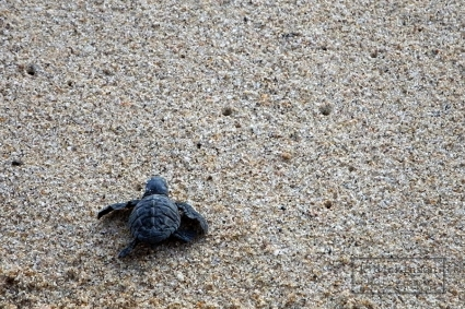 An Olive Ridley sea turtle.