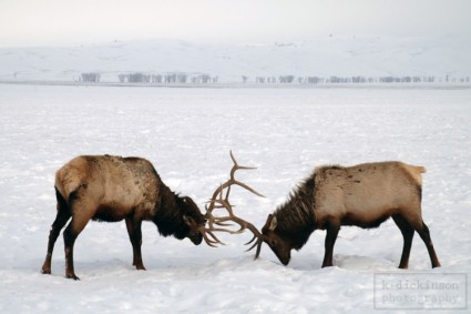 Elk in Jackson, Wyoming