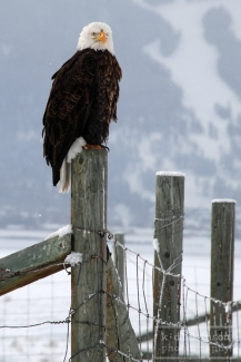 Eagle, Jackson, Wyoming
