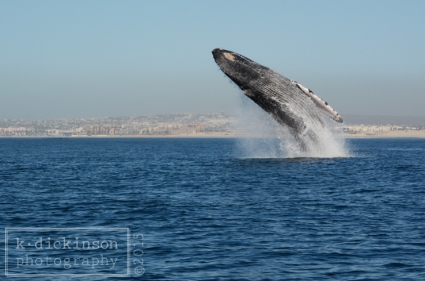 KDickinson Photography - And this whale breaching? This was amazing!