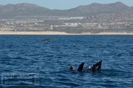 KDickinson Photography - Sea Lions and a whale in Los Cabos.