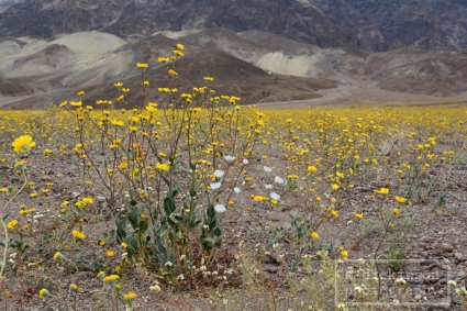 Death Valley Bloom 001