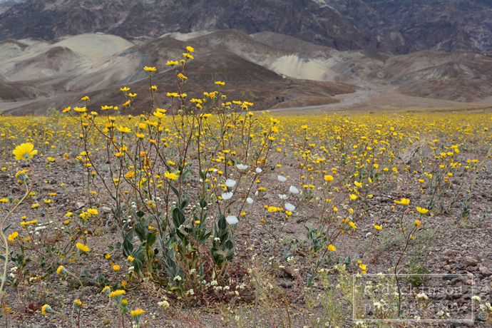 Death Valley Bloom 001