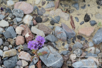 Death Valley Bloom