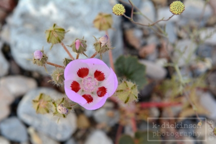 Death Valley Bloom - Desert Five-Spot