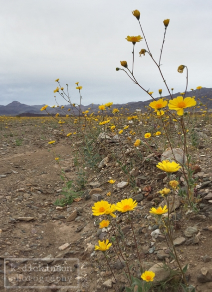 Desert Gold Blooms in Death Valley