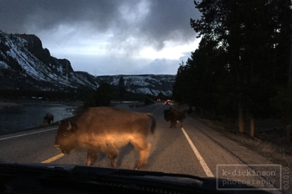 Bison Jam - Yellowstone National Park